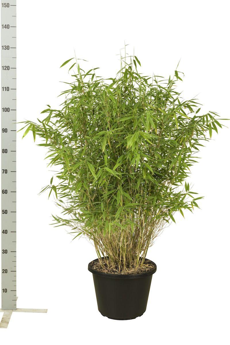 Fargesia murielae 'Jumbo' Conteneur 100-125 cm