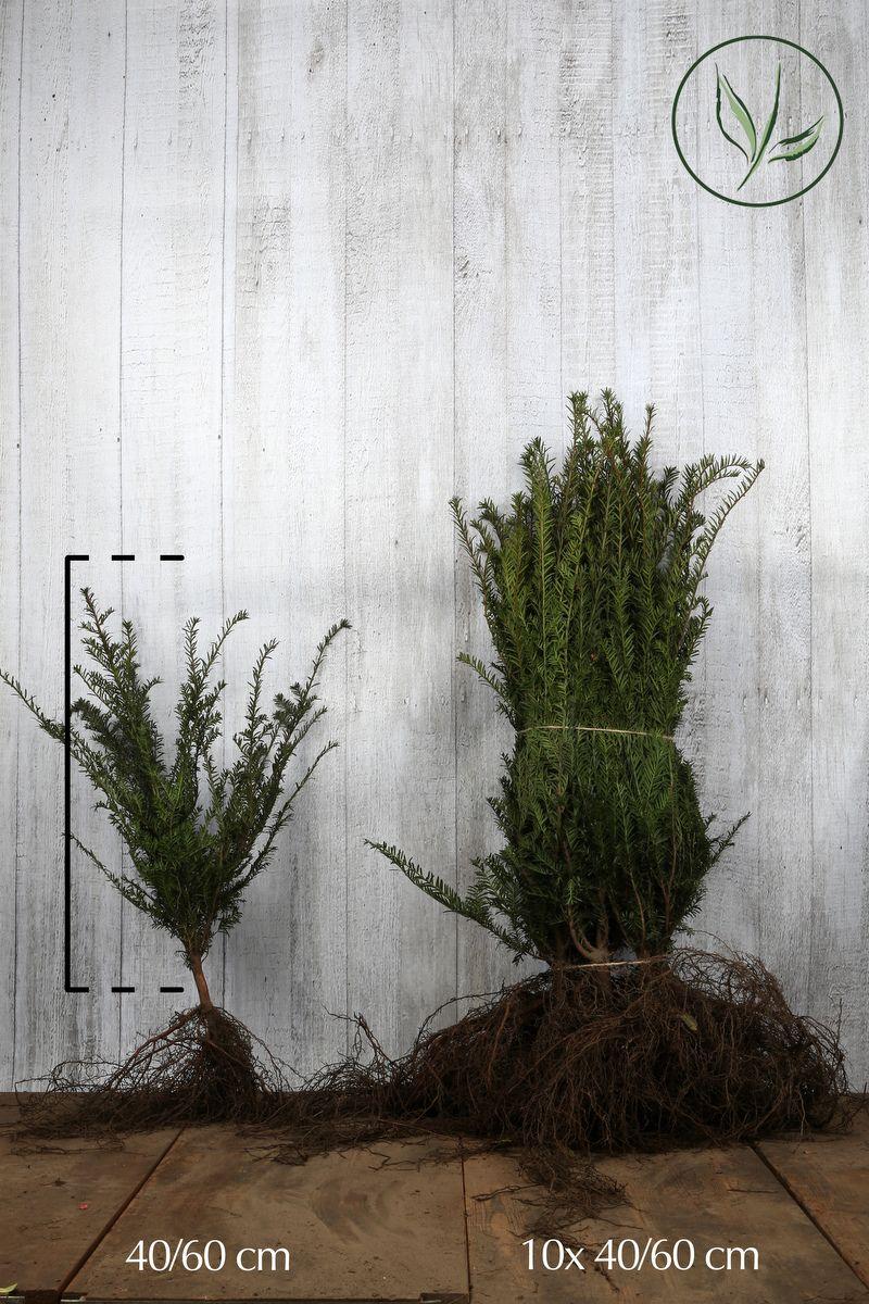 If commun  Racines nues 40-60 cm Qualité extra
