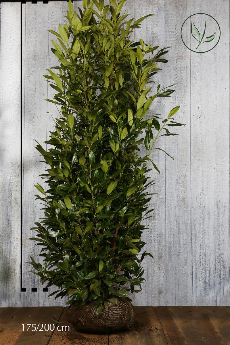 Laurier palme 'Herbergii'  En motte 175-200 cm Qualité extra