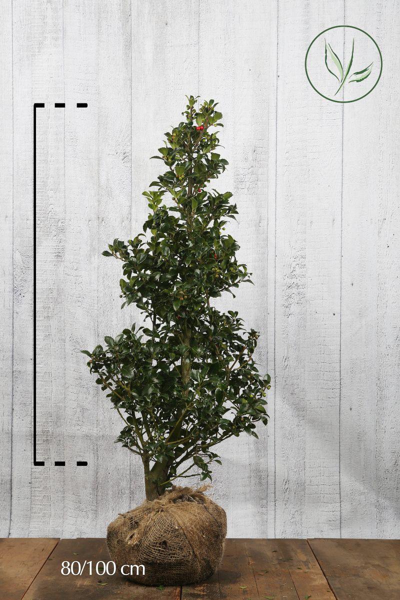 Houx 'Heckenfee'  En motte 80-100 cm