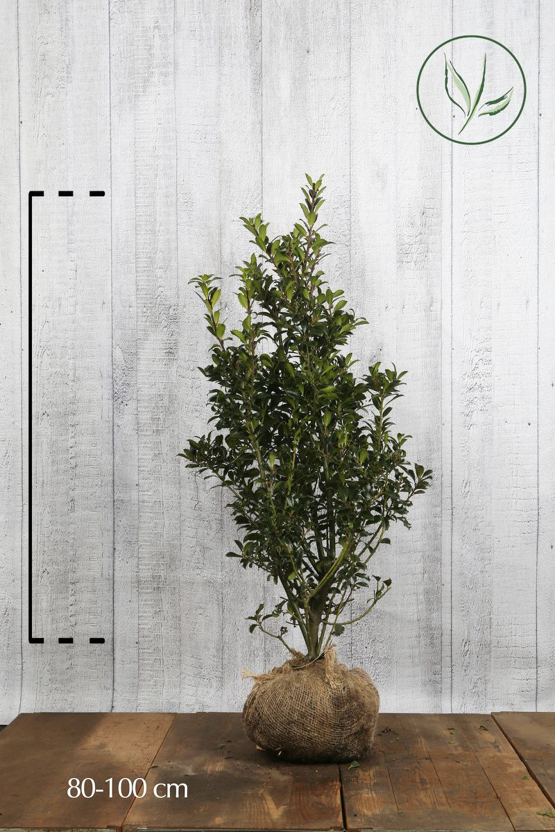 Houx 'Heckenpracht'  En motte 80-100 cm
