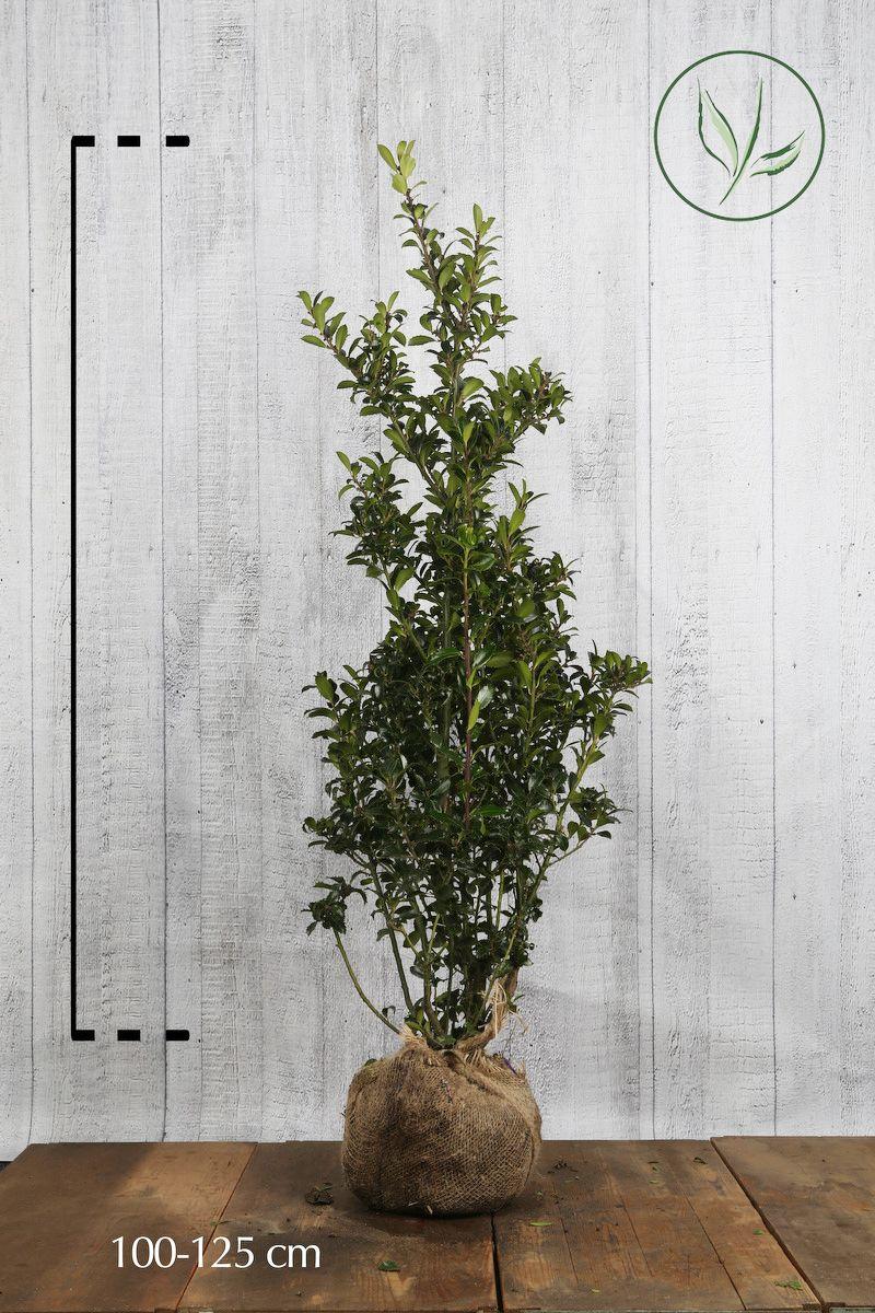 Houx 'Heckenpracht'  En motte 100-125 cm