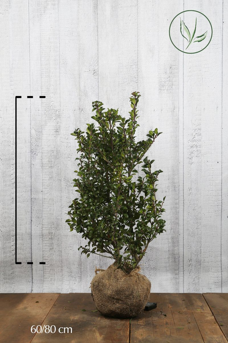Houx 'Heckenstar'  En motte 60-80 cm