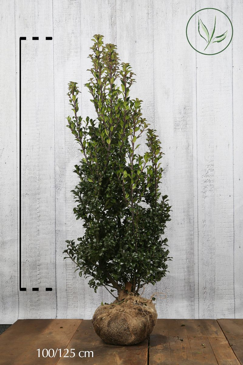 Houx 'Heckenstar'  En motte 100-125 cm