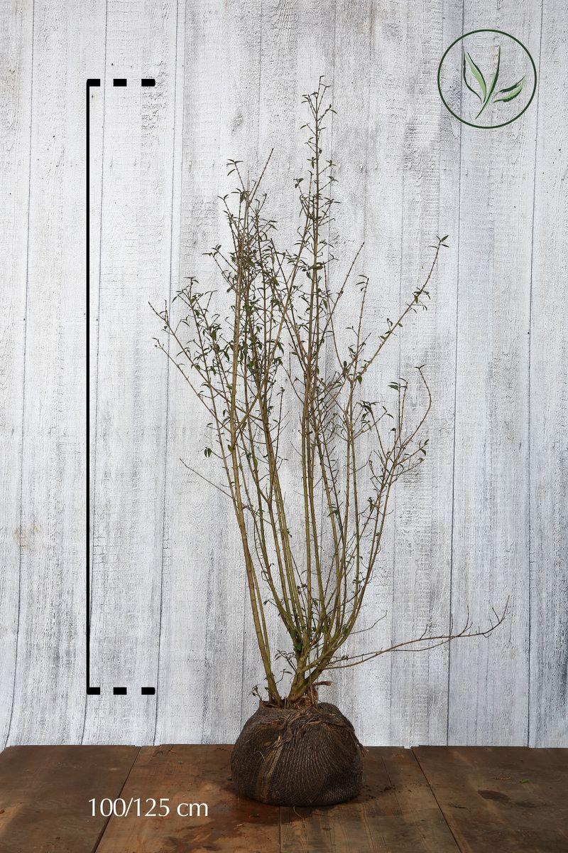 Troène commun 'Atrovirens'  En motte 100-125 cm