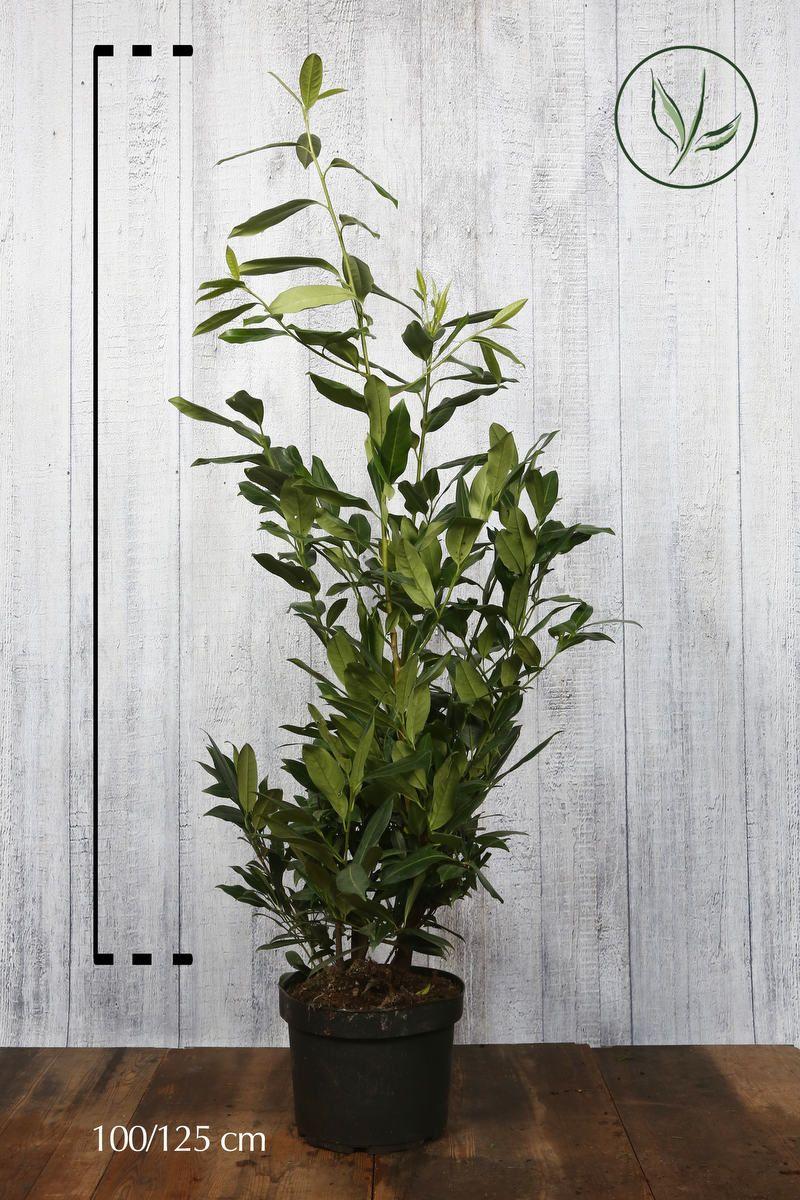 Laurier palme 'Herbergii'  Conteneur 100-125 cm