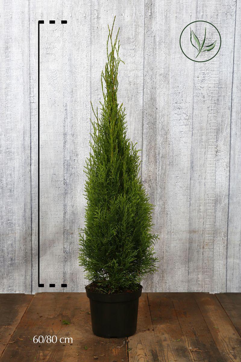 Thuya du Canada 'Smaragd'  Conteneur 60-80 cm Qualité extra