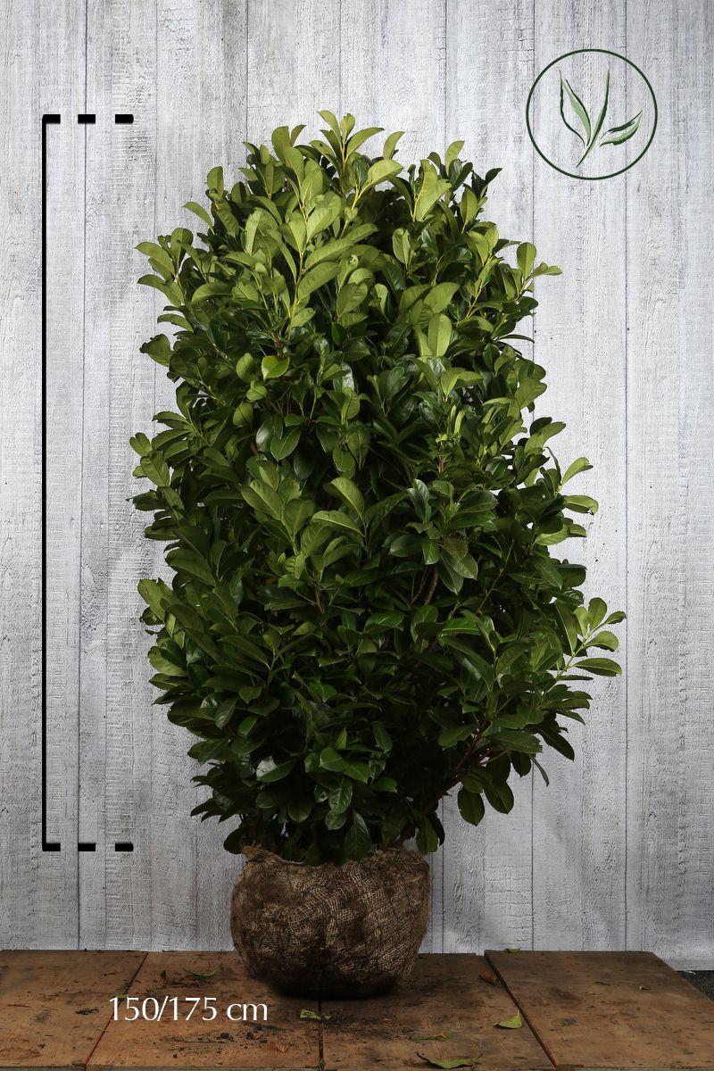 Laurier palme 'Etna'  En motte 140-160 cm Qualité extra