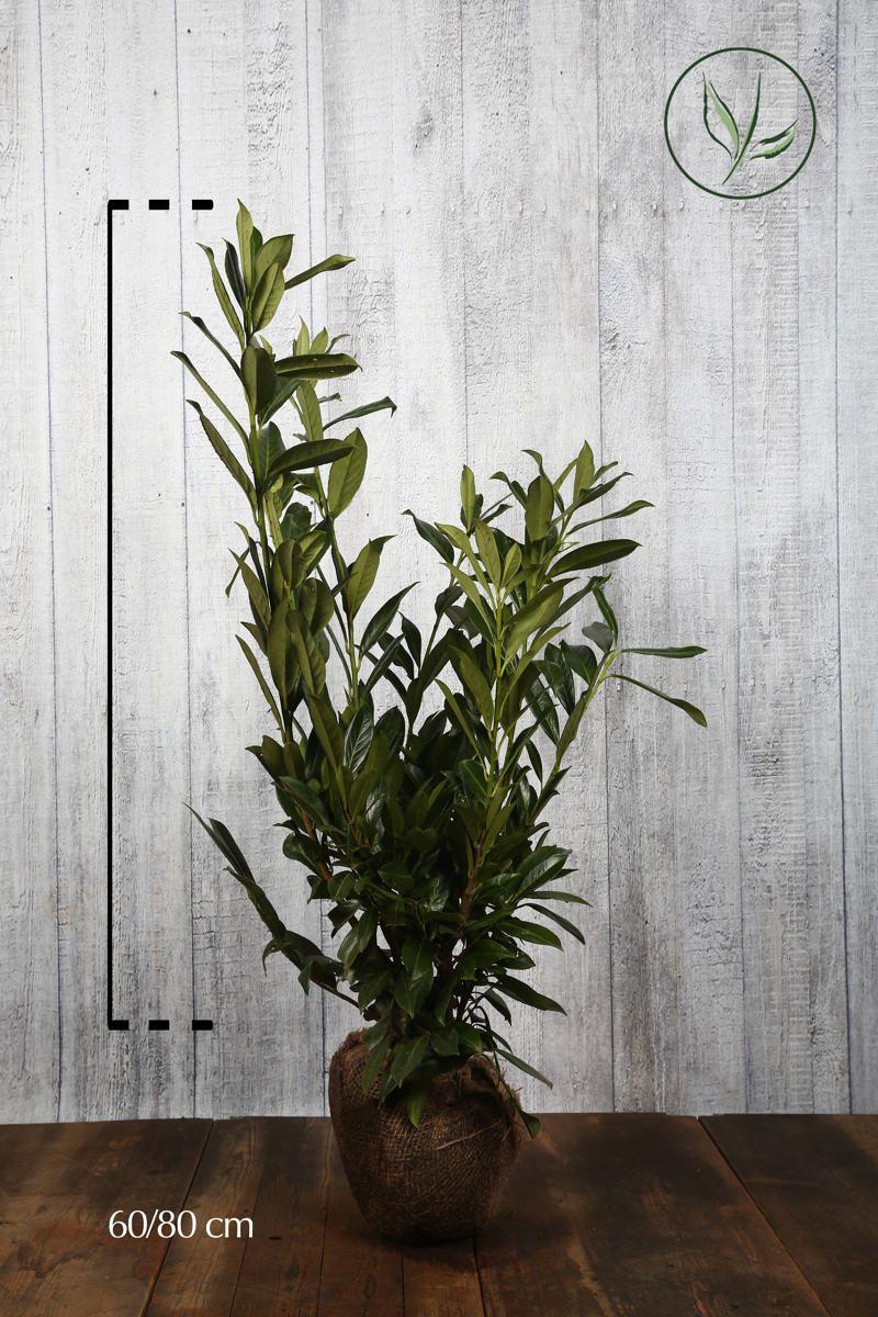 Laurier palme 'Herbergii'  En motte 60-80 cm