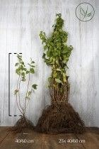 Seringat virginal racines nues 40-60 cm