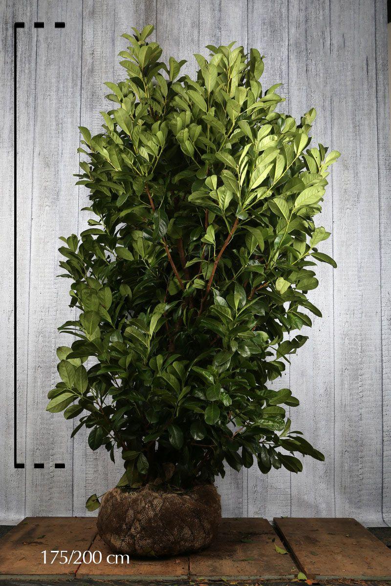 Laurier cerise 'Rotundifolia' En motte 175-200 cm