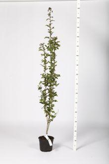 Aubépine monogyne Conteneur 100-120 cm