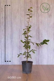 Hêtre commun, Hêtre vert  Conteneur 60-80 cm
