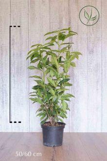 Laurier cerise 'Genolia'® Conteneur 50-60 cm