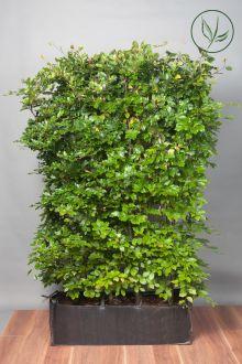 Hêtre commun, Hêtre vert  Haies prêtes à planter 100-120 cm Prêts à planter