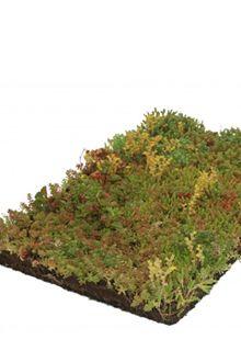 Sedum - couvre-sol tapis