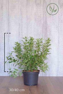 Deutzia gracilis Conteneur 30-40 cm