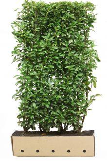 Laurier cerise 'Genolia'® Haies prêtes à planter 200 cm Prêts à planter