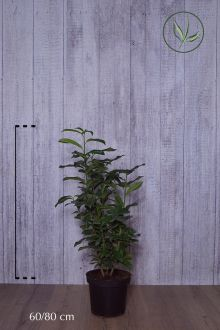 Laurier cerise 'Genolia'® Conteneur 60-80 cm