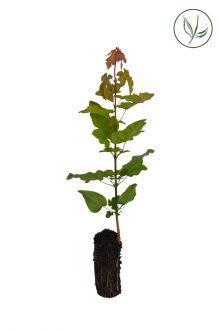 Erable champêtre  Plantes cultivées en cellules 20-40 cm Qualité extra