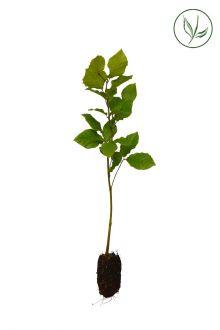 Hêtre commun, Hêtre vert  Plantes cultivées en cellules 30-50 cm Qualité extra