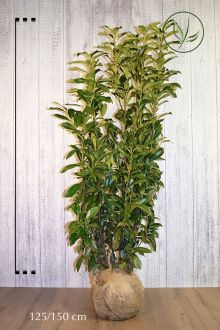 Laurier cerise 'Genolia'® En motte 125-150 cm Qualité extra