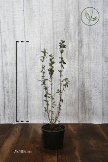 Troène commun 'Atrovirens'  Conteneur 20-40 cm