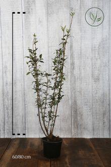 Troène commun 'Atrovirens'  Conteneur 60-80 cm