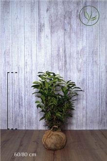 Laurier cerise 'Genolia'® En motte 60-80 cm Qualité extra