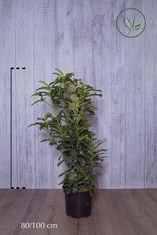 Laurier cerise 'Genolia'® Conteneur 80-100 cm