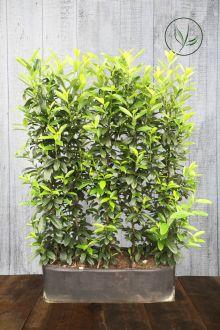 Laurier cerise 'Genolia'® Haies prêtes à planter 160-170 cm Prêts à planter
