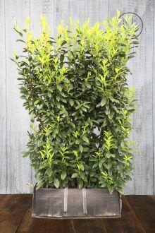 Laurier cerise 'Genolia'® Haies prêtes à planter 180-190 cm Prêts à planter