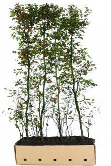 Amélanchier de Lamarck Haies prêtes à planter 200 cm