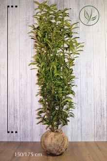 Laurier cerise 'Genolia'® En motte 175-200 cm Qualité extra