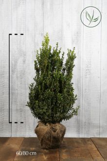 Buis - Arbustes En motte 60-80 cm