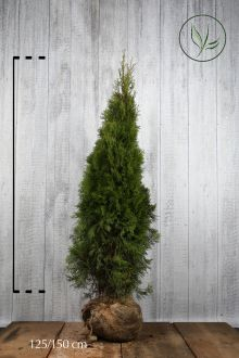 Thuya du Canada 'Smaragd'  En motte 125-150 cm Qualité extra