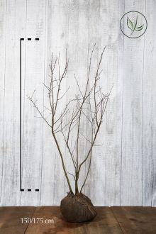 Amélanchier de Lamarck En motte 150-175 cm