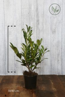 Laurier palme 'Caucasica' Conteneur 30-40 cm
