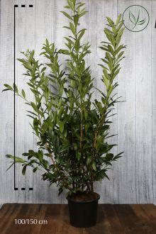 Laurier palme 'Caucasica' Conteneur 125-150 cm