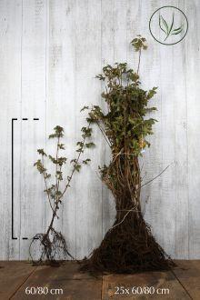 Erable champêtre  Racines nues 60-80 cm