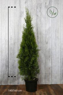 Thuya du Canada 'Smaragd'  Conteneur 140-160 cm Qualité extra
