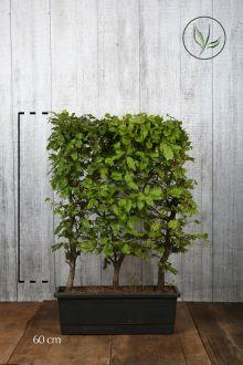 Hêtre commun, Hêtre vert  Haies prêtes à planter 60 cm Prêts à planter