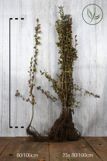 Aubépine monogyne Racines nues 80-100 cm