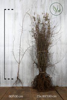 Prunellier Racines nues 80-100 cm
