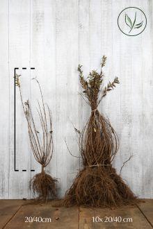 Deutzia gracilis Racines nues 20-40 cm