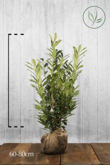 Laurier palme 'Caucasica' En motte 60-80 cm