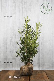 Laurier palme 'Caucasica' En motte 80-100 cm