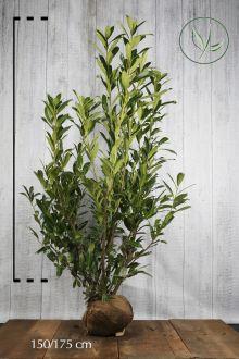 Laurier palme 'Caucasica' En motte 150-175 cm