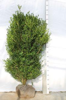 Buis - Arbustes En motte 125-150 cm Qualité extra