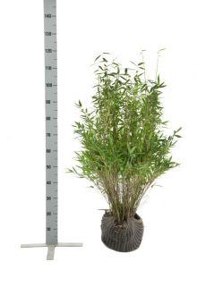 Fargesia murielae 'Simba' En motte 80-100 cm